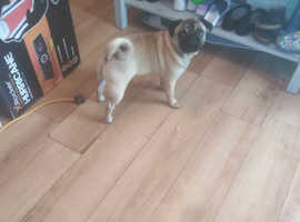 10 month old male pug