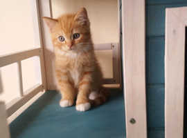 Beautiful  British Shorthair cross kittens for sale
