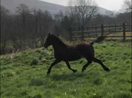 Rwas sec d stallion