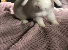 Mini lop girl