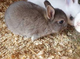 Beautiful netherlanddwarf rabbits