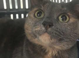 Bsh pedigree female cat