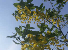 Laburnum Tree -Goldern rain