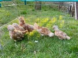Poland bantam Chickens