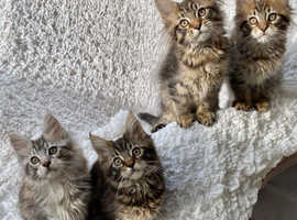 MAINE COON KITTENS (READY FOR THEIR FOREVER HOMES)