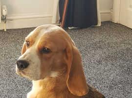 Beautiful tri coloured kc beagle puppies