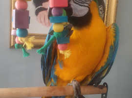 Macaw blue and gold Male