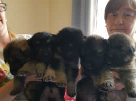 Lovely German Shepherd Puppies