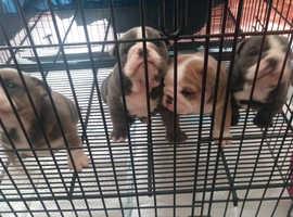 English Bulldog Pups (Premium Bloodline)