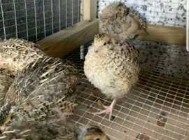 Quail hatching eggs