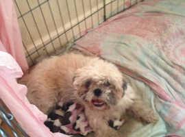 Shiuze puppys