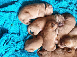 beautiful dogue de bordeaux puppies for sale