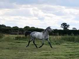 Well bred grey Dunn mare