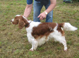 Welsh Springer Spaniel Dogs & Puppies For Sale & Rehome in