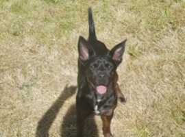 Manchester Terrier X Jack Russell