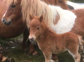 Registered Miniature Shetland Colt - delivery available