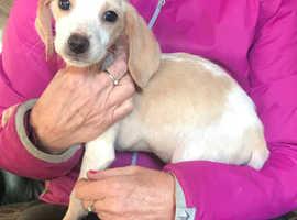 Lemon and white beagle boy puppy