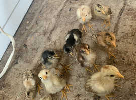 13 Aseel chicks price per