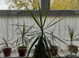 5 Dragontrees