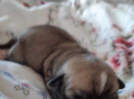 Jackawawa x carin terrier