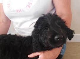 exceptional labradoodle puppy for sale