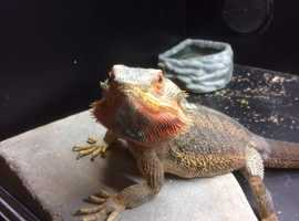 bearded Dragons Proven breeding pair
