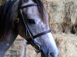 Welsh B Grey 2years Filly very well bred