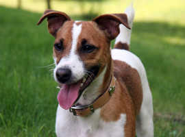 Looking to buy KC Jack Russell