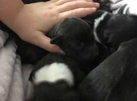 Staffing pups