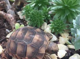Mediterranean spur-thigh tortoise hatchlings
