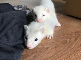 2 Grey and Albino Ferret Kits Hobs