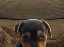 Black and Tan puppies FOR SALE