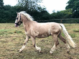 Lovely Little Welsh Cob