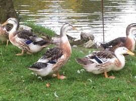 Appleyard Ducks For Sale & Rehome in Norwich | Find Ducks For Sale