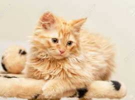 Wanted: Fluffy Ginger cat (6 - 20 months old)