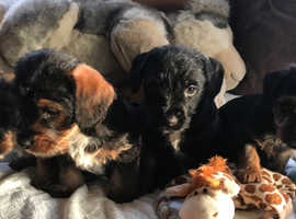 Beautiful standard wire hair dachshund puppies