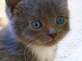 Turkish Angora x kitten ready now