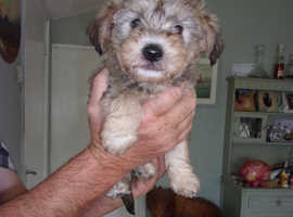 1 male crossbreed pup looking for a loving home