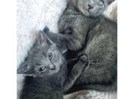 Grey bsh kitten