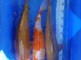 Koi carp English bred 1 year old
