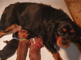 CKCS puppies from KC health tested parents