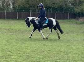 13hh 5 year old coloured pony