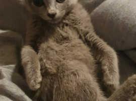Russian Blue kittens ready now