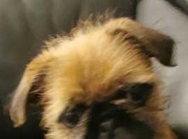 Beautiful Pugzu girl pup
