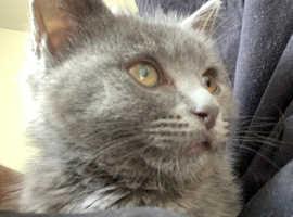 Gray kitten for sale