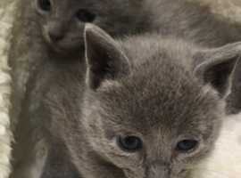 Stunning litter of full pedigree Russian Blue kittens