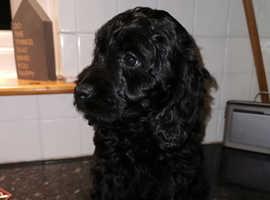 Sprockerpoo puppy