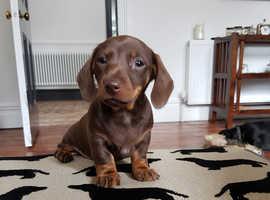 KC Registered Miniature Chocolate & Tan Male Dachshund puppy