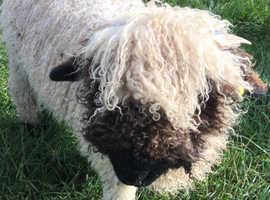 Swiss Valais lambs
