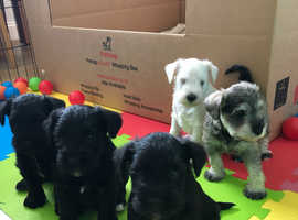 KC registered puppies
